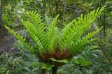 Oak-leaf Fern (Drynaria quercifolia)
