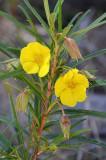 Arsenic Plant (Hibbertia longifolia)