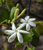 wild gardenia