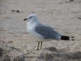 Ring-billed Gull (12)