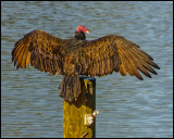 Vulture - Turkey