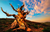 Bristlecone Pine Ancient sunrise
