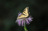 Canadian Tiger Swallowtail - Papillio canadensis