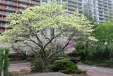 May 4, 2014 Photo Shoot - Washington Square Gardens & LaGuardia Corner Garden Ikebana Demo