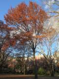 Scarlet Oak or Quercus coccinea