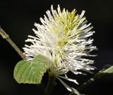 Witch Alder or Fothergilla Major Blossom