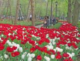 Red & White Tulipa near the Winter Garden Financial Center