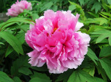 Pink Tree Peony in Bloom