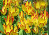 Yellow & Red Tulips