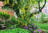 Garden View - Yellow Wisteria Tree & Electric Pink Rhododendrons
