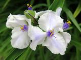 Tradescantia or Spiderwort