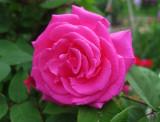 Zephrine Drouhin Rose - Rose Season Begins