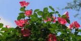 Meidiland Roses