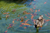 Mother Duck with Her 4 Chicks & Goldfish