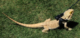Albino Iguana Out for a Walk in the Park