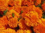 Summer Marigold Blossoms