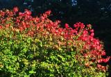 Changing Colors - Burning Bush or Euonymus alatus