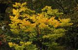 Golden Yellow Elm Tree Fall Foliage