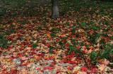 Sugar Maple Foliage Carpet