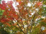 Sugar Maple Tree Foliage