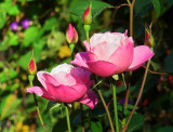 Pink Simplicity Roses in the Fall