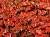 Sumac Tree Fall Foliage