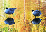 Canadian Geese at the Duck Pond with Fall Foliage Reflections