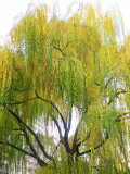 Weeping Willow or Salix babylonica