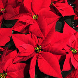 Poinsettia or 'Christmas Star'