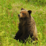 Grizzly bear, Banff N.P, Canada