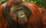 Orangutang King, Tanjung Puting, Kalimantan, Borneo