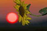 Sun Flower copy.jpg