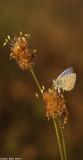 IMG_2630.jpg  Polyommatus icarus