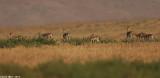 BO8R2115.jpg    gazela gazela