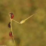 IMG_8889-2jpg.jpg ladybird