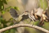 IMG_1309.jpg  Palestine sunbird nestlimg feeding