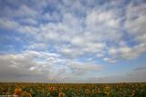 IMG_8858.jpg sunflower