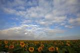 IMG_8861.jpg sunflower