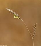 671A1089.jpg   Geometridae