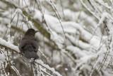 671A7909.jpg  Blackbird Turdus merula