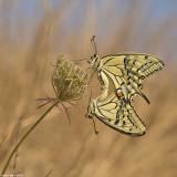 671A8567-1.jpg  Common Swallowtail,Papilio machaon