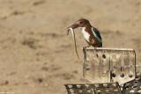 _O8R0856.jpg  kingfisher