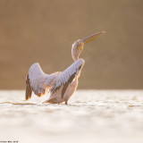 671A0506-1. white pelican