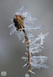 Harlot Frost