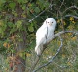 white_barred_owl_