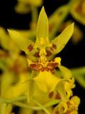 20124663  - Oncidium  lykaiosii 'Orchiddoc' CBR/AOS  Close-up.jpg