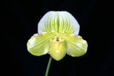 2013332721 -  Paph. Golden Crest  'Tony Myers'  HCC/AOS  (78-points) 5-11-2013