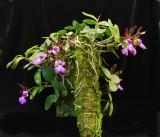 20132729  -   Cattleya   aclandiae  'Kathleen'  CCM/AOS  (83-points)  7-13-2013.jpg
