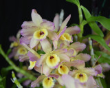 20132753  -  Dendrobium Fortune 'Hawaiian Sunset'  CCM/AOS  (86-points)  2-2-2013  Close-up.jpg