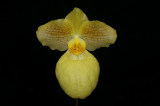 20132764  -  Paph. Fumis Delight   'Jackye'   AM/AOS  (81-points)  3-17-2013.jpg
